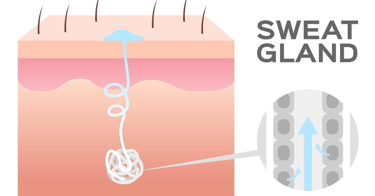 sweat gland - img-blog